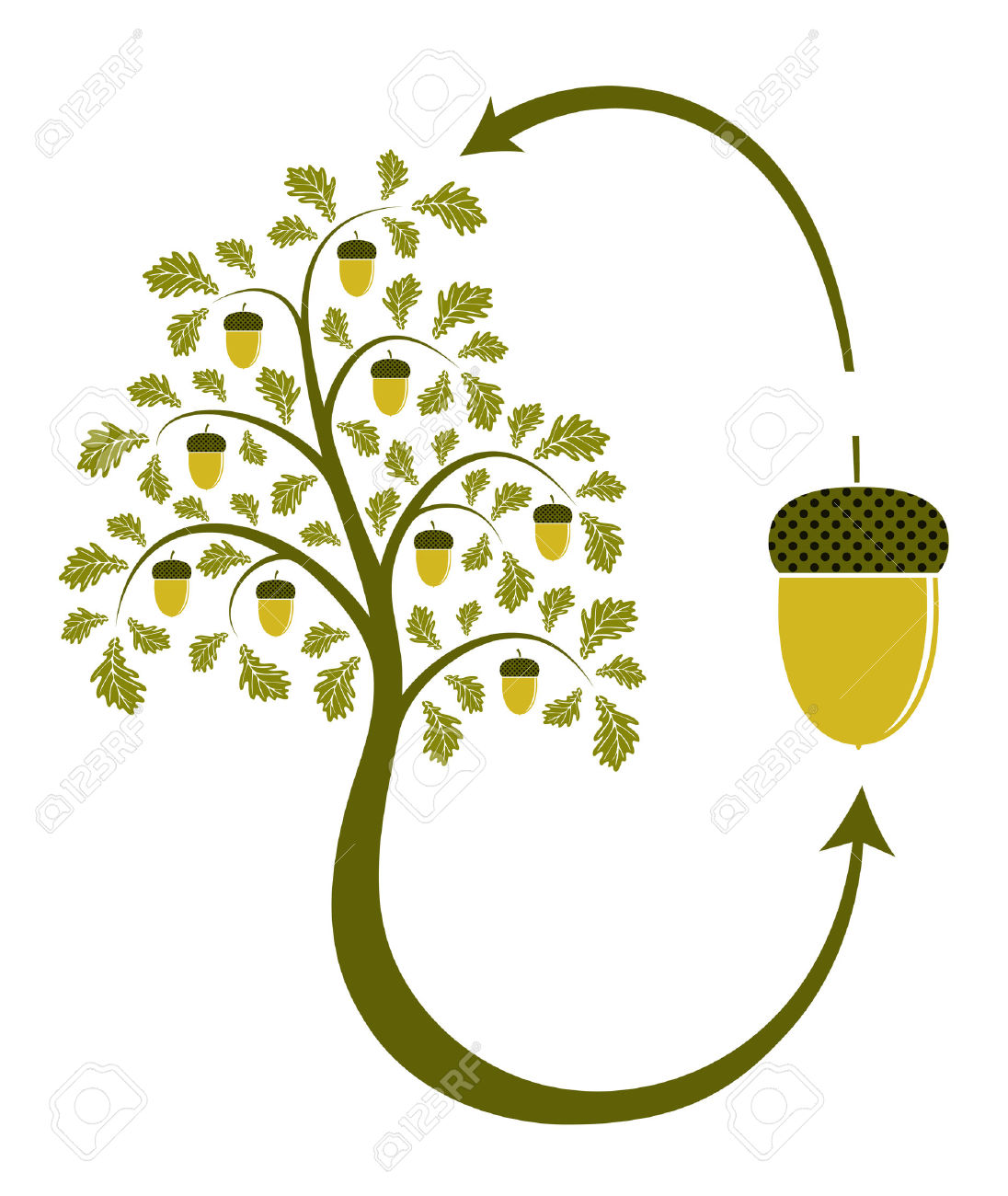 7885907-oak-tree-life-cycle-on-white-background-Stock-Vector-acorn